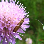 Длинноуска крупноглазая (Nemophora metallica)