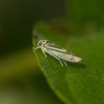 Род Eupteryx