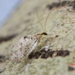 Hemerobiidae