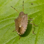 Holcostethus strictus
