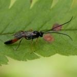 Семейство Наездники (Ichneumonidae)