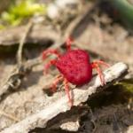 Клещи-краснотелки (Trombidiidae)