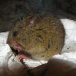 Лесная мышовка (Sicista betulina)