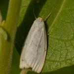 Лишайница красивая (Cybosia mesomella)