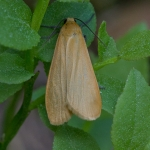 Лишайница золотистая (Eilema sororculum)