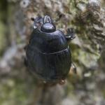 Margarinotus brunneus (=cadaverinus)