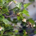 Медоносная пчела (Apis mellifera)