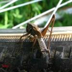 Скачок короткокрылый (Metrioptera brachyptera)