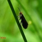 Micropterix calthellaaruncella