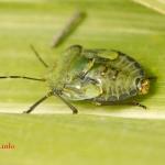 Ежемуха толстокрылая (Ectophasia crassipennis)