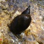 Обыкновенный прудовик (Lymnaea stagnalis)
