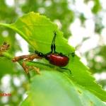 Ореховый трубковерт (Apoderus coryli)