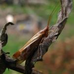Отряд Ручейники (Trichoptera)