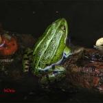 Озерная лягушка (Rana ridibunda)
