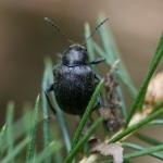 Падучка чёрная (Bromius obscurus)