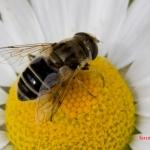 Пчеловидка рощевая (Eristalis arbustorum)