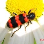 Пчеложук пчелиный (Trichodes apiarius)