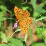 Перламутровка большая (Argynnis paphia)