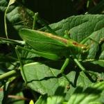 Певчий кузнечик (Tettigonia cantans)