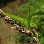 Пластинокрыл обыкновенный (Phaneroptera falcata)