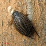 Полоскун желобчатый (Acilius canaliculatus)