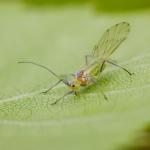 Настоящие тли (Aphididae)