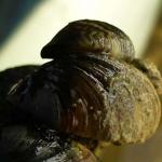 Речная дрейссена (Dreissena polymorpha)