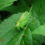 Семейство Кузнечиковые (Tettigonioidea)