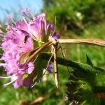 Семейство пальцекрылки (Pterophoridae)