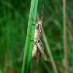 Семейство Саранчёвые (Acridoidae)