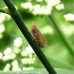 Семейство Цикадки (Jassidae)