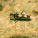 Семейство Ходуленожки (Micropezidae)