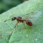 Семейство Муравьи (Formicidae)