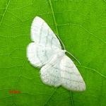 Семейство Пяденицы (Geometridae)