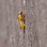 Семейство Злаковые мухи (Chloropidae)