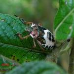 Щитник троилус (Troilus luridus)