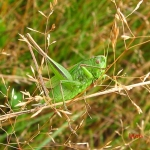 Скачок двуцветный (Bicolorana bicolor)