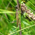 Скачок Резеля (Metrioptera roeselii)