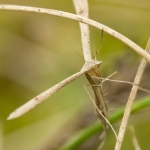 Stenoptilia bipunctidactyla