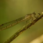 Лютка сибирская (Sympecma paedisca)