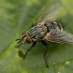 Семейство Tachinidae