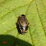 Таракан лесной (Ectobius sylvestris)