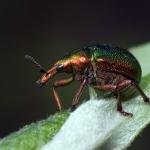 Трубковёрт зелйный (Byctiscus betulae)