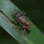 Trypetoptera punctulata