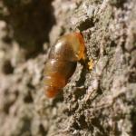 Моллюск рода Cochlicopa