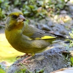 Зеленушка обыкновенная (Chioris chloris)