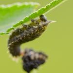 Семейство Листоеды (Chrysomelidae)