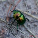 Навозник весенний (Trypocopris vernalis)