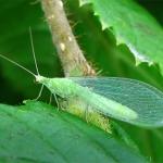Семейство Златоглазки (Chrysopidae)